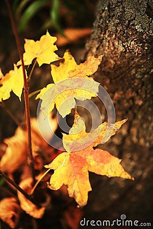 Yellow sheet grape maple