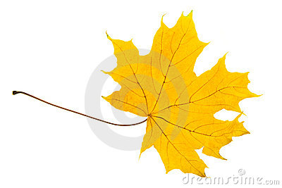 Yellow sheet of a maple