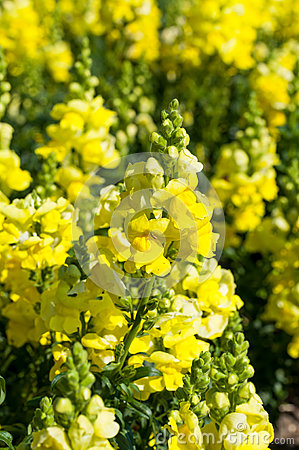 Free Yellow Snapdragon Royalty Free Stock Images - 44538249