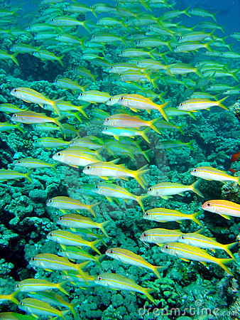 Free Yellow Snapper Royalty Free Stock Photo - 653885