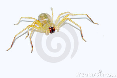 Yellow spider isolated
