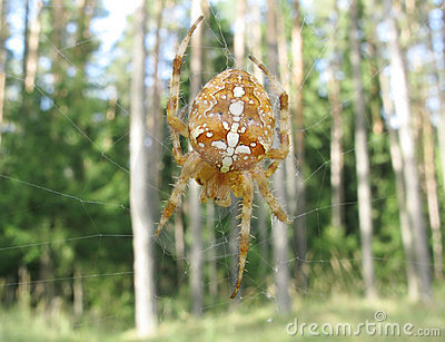 Yellow spider in web