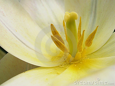 Yellow stamen white petals