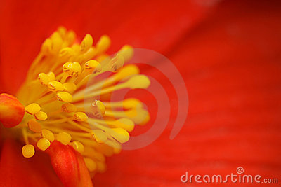 Yellow stamens of flower begonia with red petals