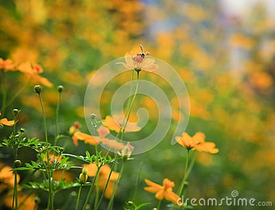 Yellow star flower and bee insect flying for honey