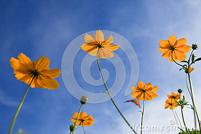 Yellow star flowers and blue sky background use as