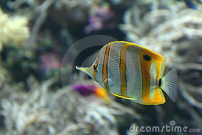 Yellow stripe angel fish