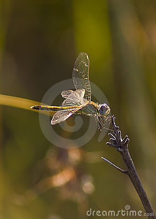 Free Yellow Striped Hunter Dragonfly On A Twig Stock Photography - 14180322