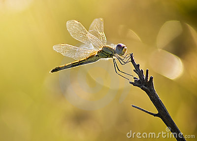 Yellow Striped Hunter Dragonfly on a Twig
