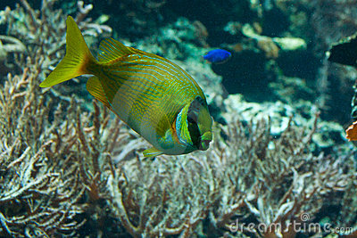 Yellow Striped Tang