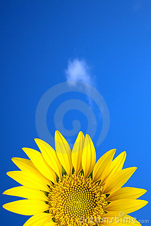 Yellow sun flower under blue sky