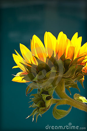 Yellow Sunflower against Blue Background
