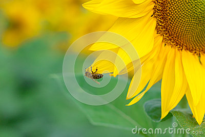 Yellow sunflower with a bee