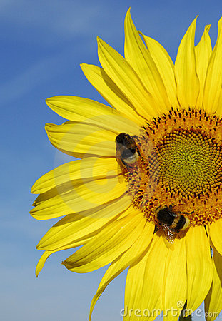 Yellow sunflower with bees on blue sky