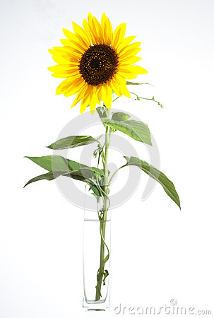 Yellow sunflower in bloom