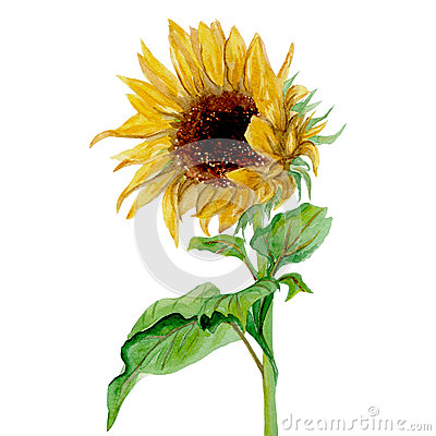 Free Yellow Sunflower Painted In Watercolor On A White Background Stock Images - 60056384