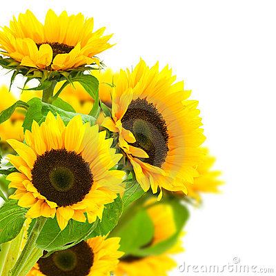 Yellow sunflowers border