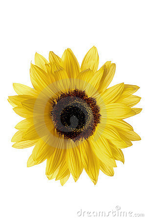 Yellow sunlower isolated on white