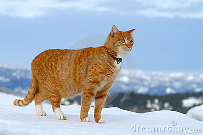Yellow Tabby Cat Looking 8