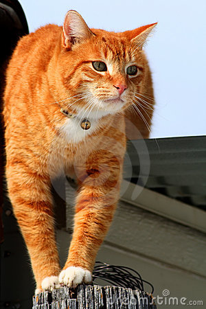 Yellow Tabby Cat Prowling 2