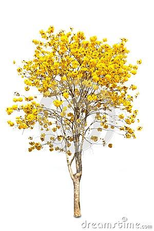 Yellow tabebuia flower