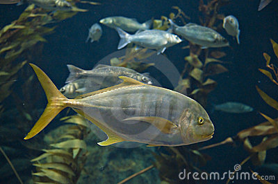 Yellow tail fish