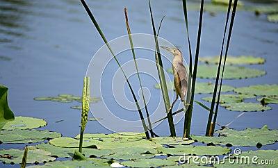 Yellow tail Jian catch fish