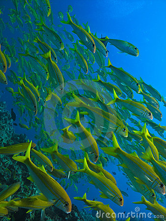 Yellow Tail Fish on Stock Photo  Yellow Tail Surgeon Fish At Great Barrier Reef  Image