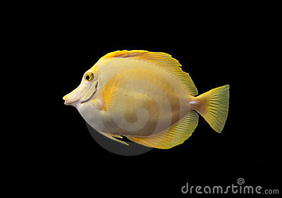 Yellow tang isolated on a black bacground