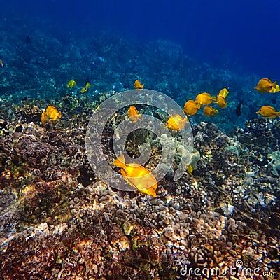 Free Yellow Tang Tropical Fish Swimming On Hawaiian Reef Royalty Free Stock Image - 84819536