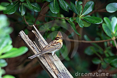 Yellow-throated Bunting, Emberiza elegans