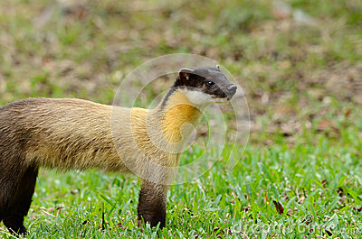 http://thumbs.dreamstime.com/x/yellow-throated-marten-martes-flavigula-27456905.jpg