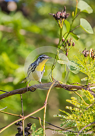 Free Yellow-throated Warbler On A Branch With Fruits Stock Images - 41734644