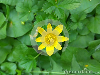 Yellow tiny flower in a green field Stock Photo