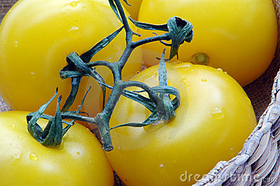 Yellow tomatoes 1