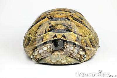 Yellow Tortoise Hiding Head