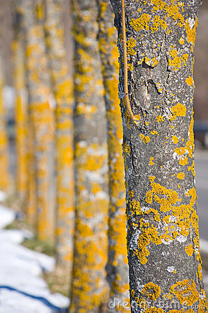 Free Yellow Tree Stock Images - 20265234