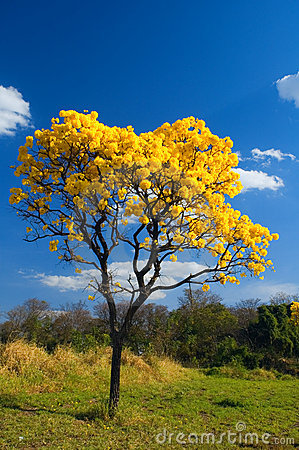Free Yellow Tree Royalty Free Stock Photography - 593277