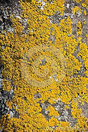 Yellow tree crust.