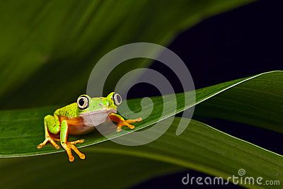 Yellow tree frog agalychnis lemur