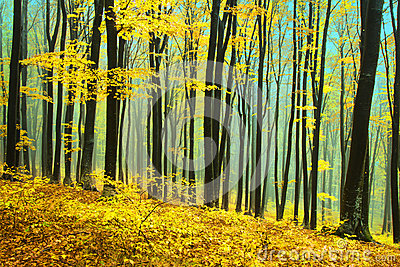 Yellow trees in a foggy forest during fall