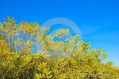 Yellow trees over blue sky