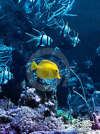 Yellow tropical fish in blue