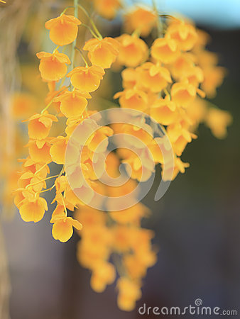 Yellow tropical orchid flower in wild nature with blur backgroun