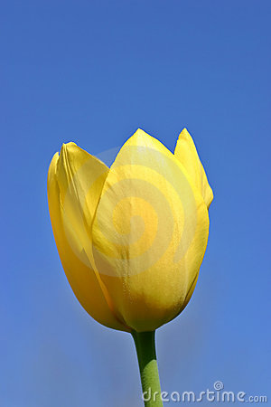 Yellow Tulip Blue Sky