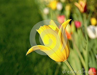 Yellow tulip closeup