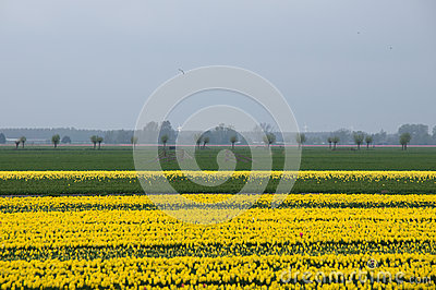 Yellow tulip fields in North Holland