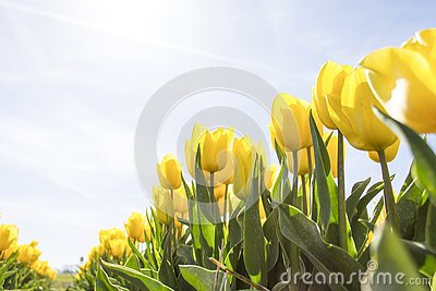 Yellow Tulip Flower Field During Daytime Free Public Domain Cc0 Image