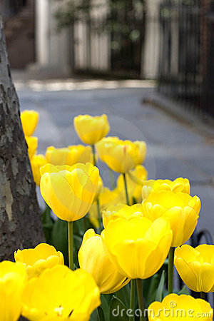 Yellow tulip flowers in bloom