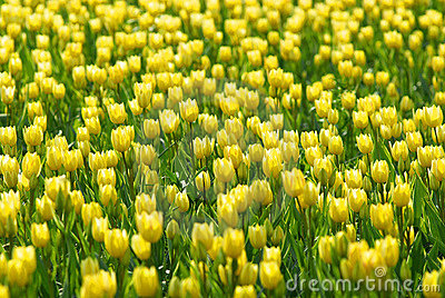 Yellow tulip flowers field